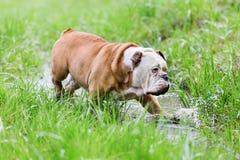 英国牛头犬通过水坑走 免版税库存图片