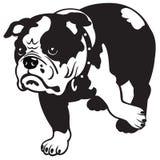 英国牛头犬黑色白色 免版税库存图片