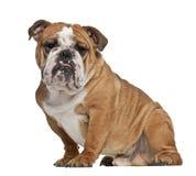 英国牛头犬, 10个月,坐 免版税库存图片