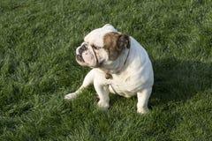 英国牛头犬 图库摄影