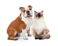 英国牛头犬和一起坐Ragdoll的猫 免版税库存照片