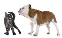 英国牛头犬和恼怒的猫 库存照片