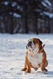 英国牛头犬在一个多雪的公园 库存图片