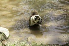 英国牛头犬在河 库存图片