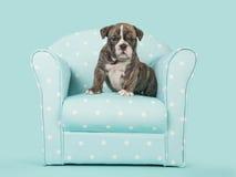英国牛头犬小狗在一把蓝色椅子坐土耳其玉色背景 库存图片
