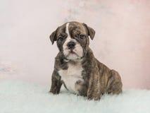 英国牛头犬小狗坐一张蓝色毛皮地毯和软的桃红色背景 免版税图库摄影