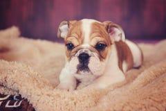 英国牛头犬小狗摆在 免版税图库摄影