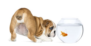 英国牛头犬小狗的背面图, 2个月,凝视在碗水族馆的金鱼 免版税库存照片