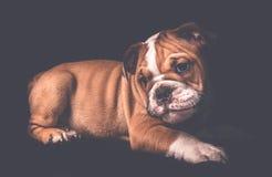 英国牛头犬小狗纵向 免版税库存照片