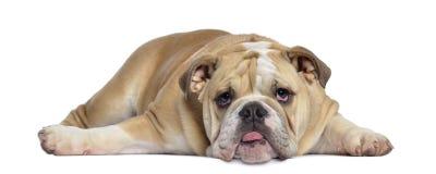 英国牛头犬小狗, 5个月,被用尽的说谎 免版税图库摄影