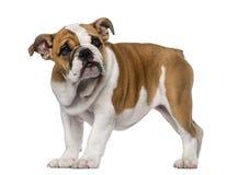 英国牛头犬小狗(3个月) 免版税库存图片