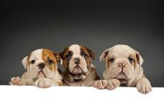 英国牛头犬小狗 免版税库存图片