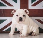 英国牛头犬小狗 库存图片