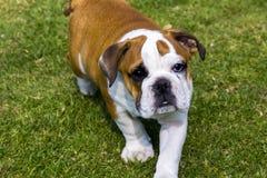 英国牛头犬走 免版税库存图片