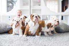 英国牛头犬逗人喜爱的小狗坐有小女孩的地毯 库存照片
