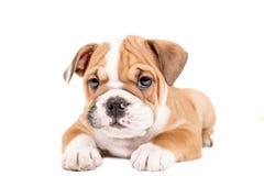 英国牛头犬逗人喜爱的小狗  免版税库存图片