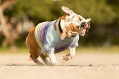 英国牛头犬震动 免版税库存图片