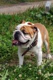 英国牛头犬画象在庭院里 免版税库存图片