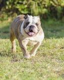 英国牛头犬 免版税库存图片
