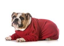 英国牛头犬 免版税图库摄影