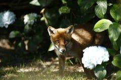 英国狐狸红色 免版税库存图片