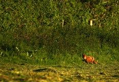 英国狐狸红色 免版税库存照片