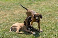 英国猎犬家庭与小小狗的 免版税库存照片