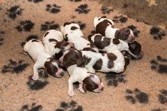 英国猎犬小狗睡觉 免版税库存图片