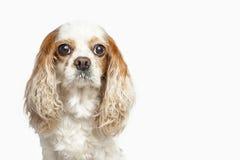 英国猎犬狗的演播室画象,隔绝在w 免版税库存照片
