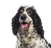 英国猎犬的特写镜头 免版税库存照片