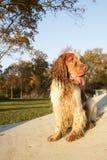 英国猎犬的画象 免版税库存照片