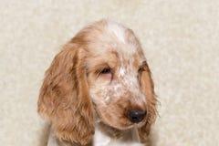 英国猎犬画象  库存照片