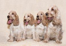 英国猎犬画象  免版税库存照片