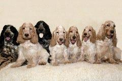 英国猎犬画象  免版税库存图片