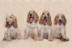 英国猎犬画象  图库摄影