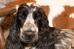 英国猎犬画象  库存图片