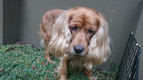 英国猎犬II 库存照片