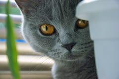 英国猫从花盆的边看 免版税库存照片
