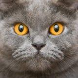 英国猫关闭 免版税库存照片