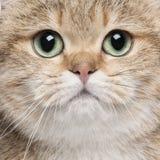 英国猫关闭shorthair 库存照片