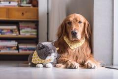 英国猫和金毛猎犬 库存照片
