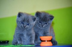 英国猫国内蓬松灰色被隔绝的小猫 库存图片