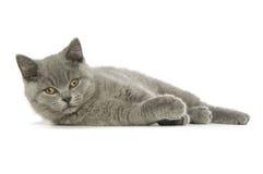 英国猫灰白头发的短小 库存图片