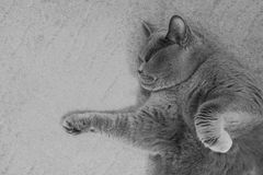 英国猫灰色 免版税库存照片