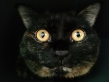 英国猫特写镜头画象  免版税库存照片