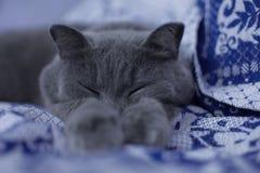 英国猫睡觉 库存照片