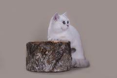 英国猫银遮蔽了在一个树桩的颜色在一轻的backg 免版税库存图片