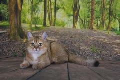 英国猫黄鼠金黄颜色是松弛在森林里 免版税库存照片