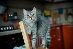 英国猫 免版税库存照片