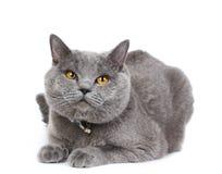 英国猫 图库摄影